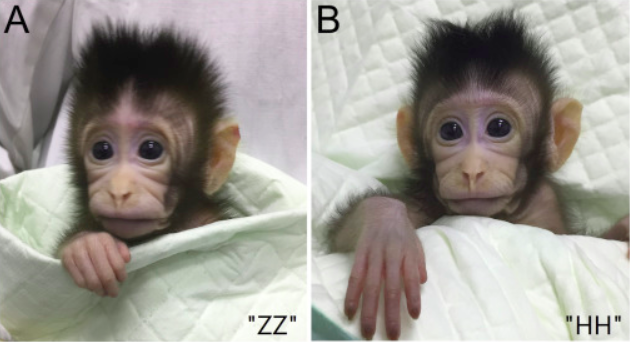 Courtesy+image+from+Cell%2C+where+the+research+journal+was+published.+Left+is+Zhong+Zhong%2C+right+is+Hua+Hua.+
